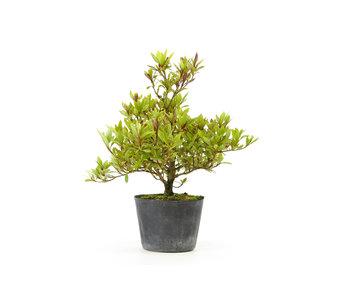 Japanse azalea (Hi no Maru), 14,3 cm, ± 8 jaar oud