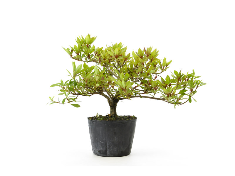 Japanse azalea (Hi no Maru), 14,7 cm, ± 8 jaar oud