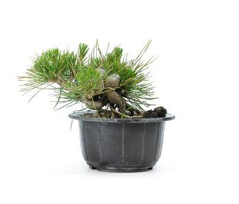 Japanese black pine, 13,1 cm, ± 18 years old
