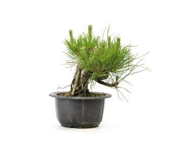 Japanese black pine, 13,2 cm, ± 18 years old