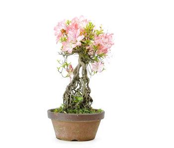 Azalea japonesa (Miyoshino), 28 cm, ± 25 años