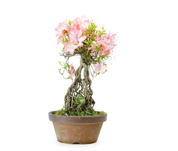 Japanese azalea (Miyoshino), 28 cm, ± 25 years old