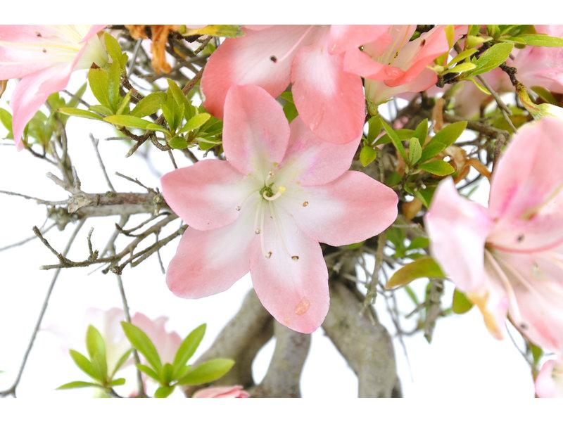 Japanse azalea (Miyoshino), 28 cm, ± 25 jaar oud