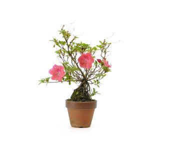 Japanse azalea (Satsuki Hibai), 23 cm, ± 8 jaar oud