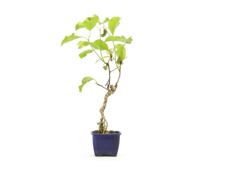 Oriental bittersweet, 26 cm, ± 9 years old