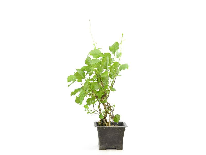 Oriental bittersweet, 27 cm, ± 12 years old