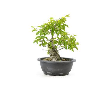 Carpino coreano, 26 cm, ± 25 anni