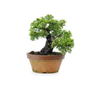 Ginepro cinese (itoigawa), 21 cm, ± 30 anni