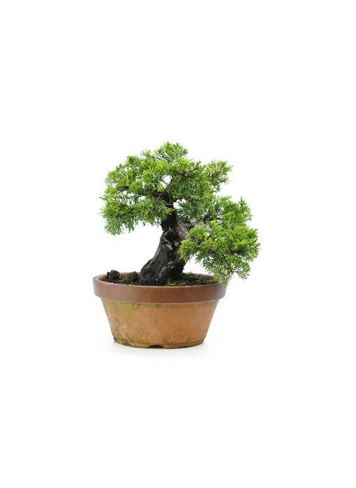 Chinese juniper (itoigawa), 21 cm, ± 30 years old