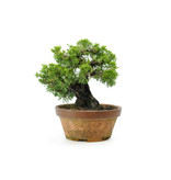 Chinese juniper (itoigawa), 21 cm, ± 30 years old