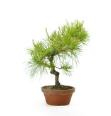 Japanese red pine, 34 cm, ± 23 years old