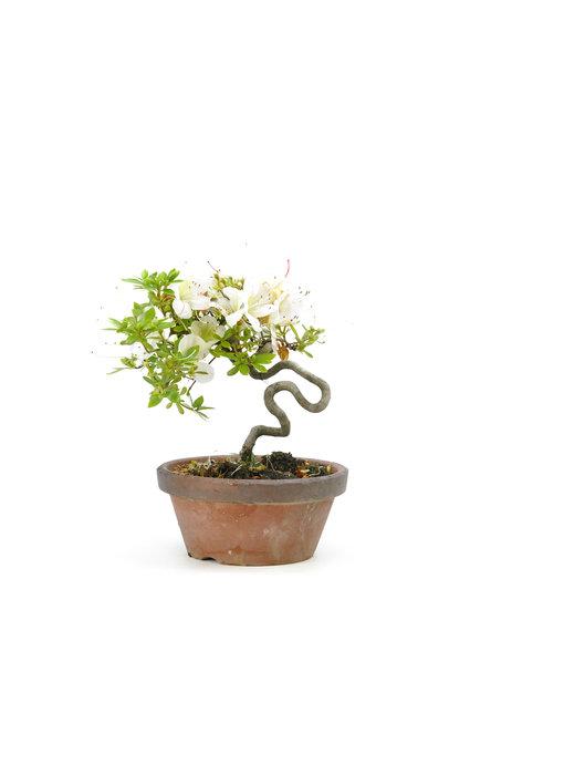 Japanese azalea (Kyokkonishiki), 20 cm, ± 20 years old
