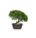 Chinese juniper, 18,4 cm, ± 8 years old