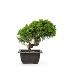 Chinese juniper, 18,5 cm, ± 8 years old