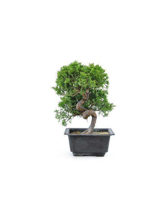 Chinese juniper, 18,6 cm, ± 8 years old