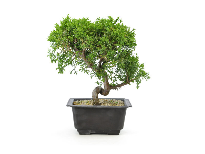Chinese juniper, 18,7 cm, ± 8 years old