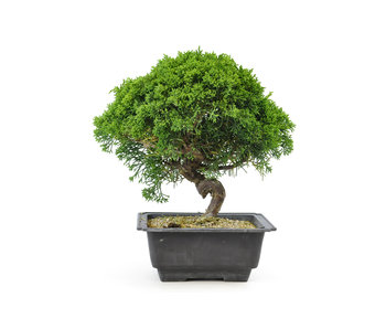 Chinese juniper, 18,8 cm, ± 8 years old