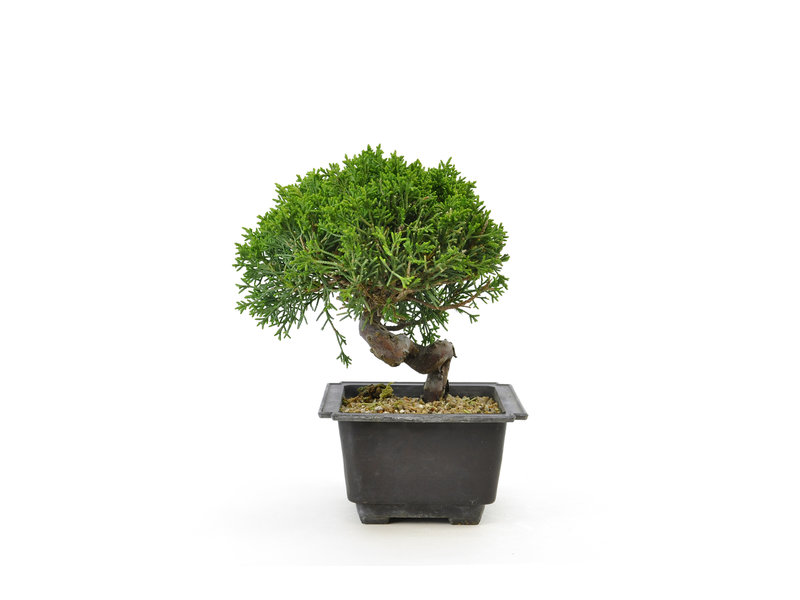 Chinese juniper, 18,9 cm, ± 8 years old