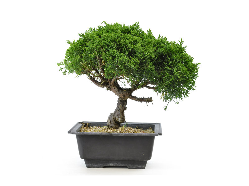Chinese juniper, 19,1 cm, ± 8 years old