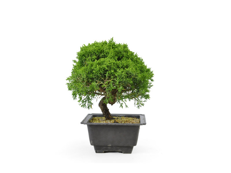 Chinese juniper, 19,2 cm, ± 8 years old