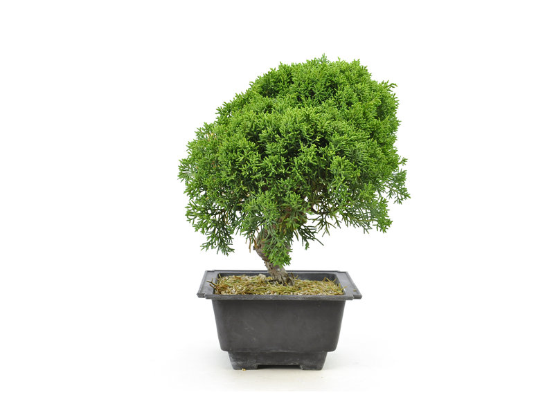Chinese juniper, 19,3 cm, ± 8 years old