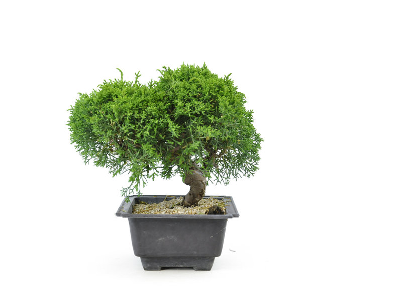 Chinese juniper, 19,4 cm, ± 8 years old