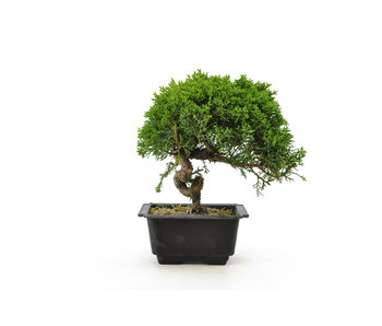 Chinese juniper, 19,6 cm, ± 8 years old