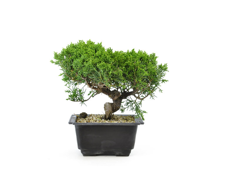 Chinese juniper, 19,8 cm, ± 8 years old