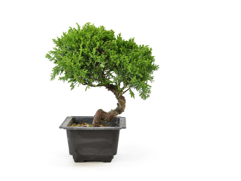 Chinese juniper, 19,9 cm, ± 8 years old