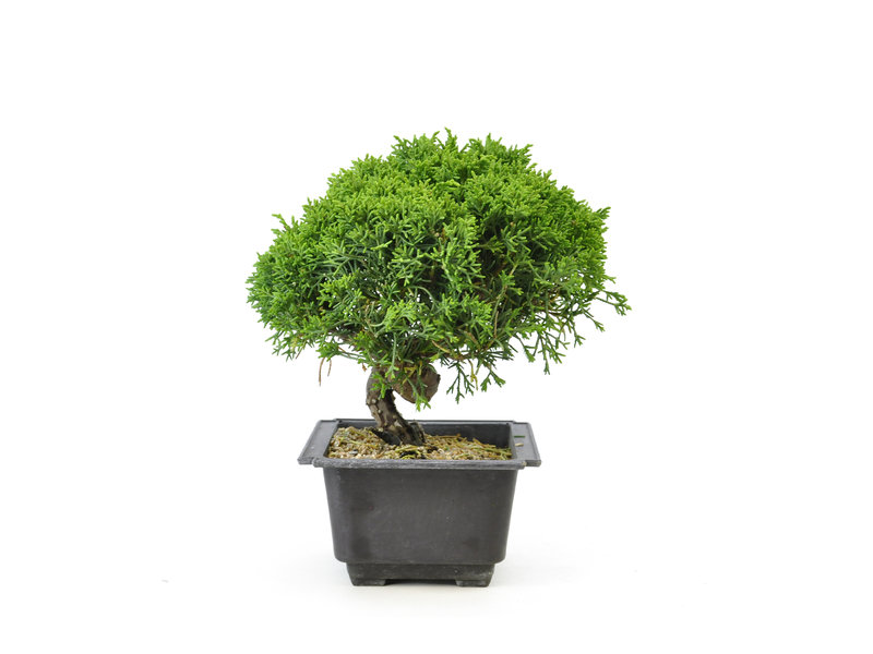 Chinese juniper, 20 cm, ± 8 years old