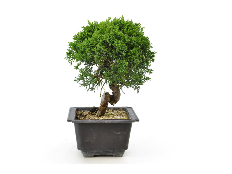 Chinese juniper, 20,1 cm, ± 8 years old
