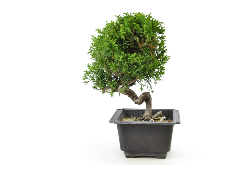 Chinese juniper, 20,2 cm, ± 8 years old