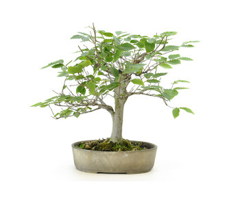 Japanese white beech or Siebold's beech (Buna), 36 cm, ± 40 years old