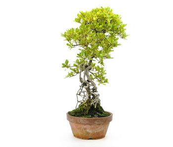 Azalea japonesa, 40 cm, ± 25 años.