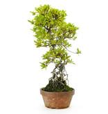 Japanse azalea, 40 cm, ± 25 jaar oud