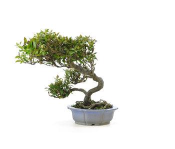 Jasmin asiatique ou jasmin étoilé, 19 cm, ± 25 ans