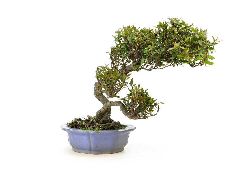 Aziatische jasmijn of sterjasmijn, 19 cm, ± 25 jaar oud