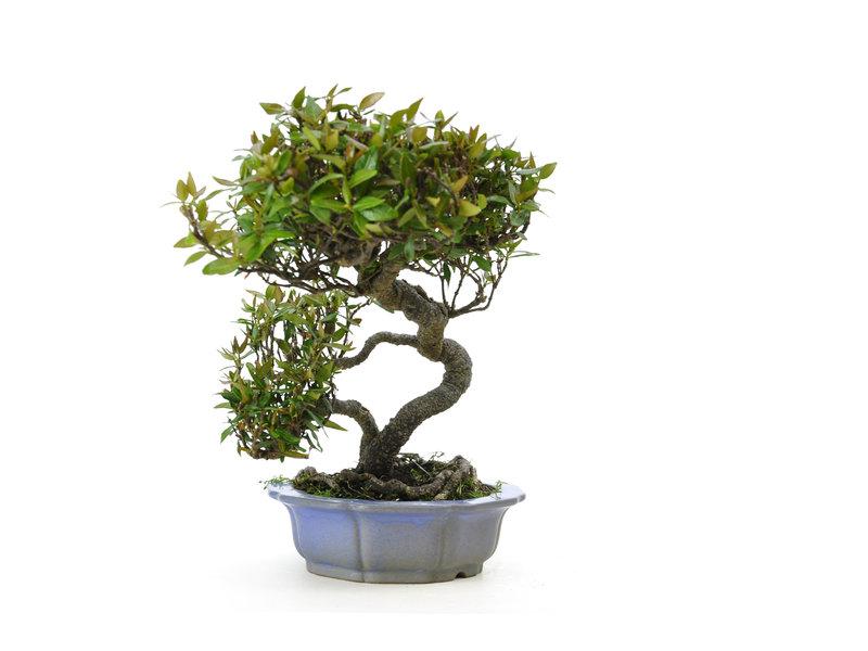 Asian jasmine or star jasmine, 19 cm, ± 25 years old