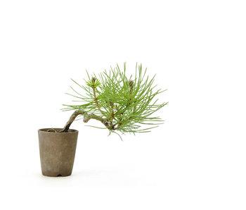 Japanese black pine, 8,7 cm, ± 8 years old