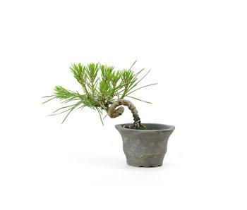 Japanese black pine, 8,8 cm, ± 8 years old