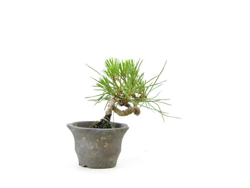 Japanse zwarte den, 8,8 cm, ± 8 jaar oud