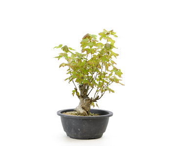 Trident maple, 25 cm, ± 10 years old