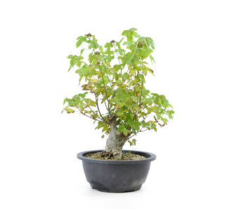 Trident maple, 23 cm, ± 10 years old
