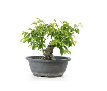 Carpino coreano, 23 cm, ± 25 anni