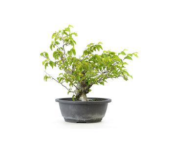 Carpino coreano, 31 cm, ± 25 anni