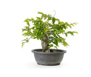 Carpino coreano, 25 cm, ± 25 anni