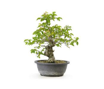 Carpino coreano, 32 cm, ± 25 anni