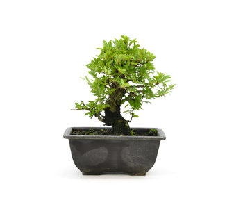Cork bark elm with small leaves, 16 cm, ± 7 years old