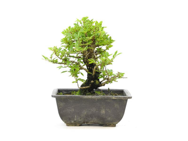 Chinese Iep, kleinbladerig met kurk, 16 cm, ± 7 jaar oud, met kleine bladeren