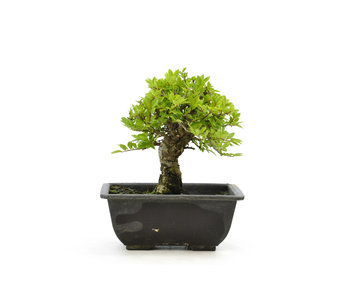 Cork bark elm with small leaves, 16,1 cm, ± 7 years old